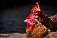Two brown chickens in the village in the sunny day.  royalty free stock photo
