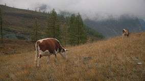 Two Brown Cows On Grass At The Edge Of Boreal Forest In Siberian Mountains At Daytime. A Short Video Shot In Altai Russian Highland In Autumn With Natural Day stock video