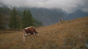Two Brown Cows On Grass At The Edge Of Boreal Forest In Siberian Mountains At Daytime stock video