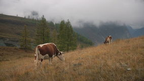 Two Brown Cows On Grass At The Edge Of Boreal Forest In Siberian Mountains At Daytime stock footage
