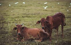 Two Brown Cows Lying and Standing on Green Grass Stock Images