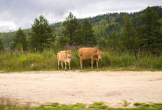 Two brown cows in a meadow pasture, in kazakhstan. At summer stock image