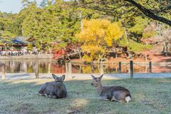 Two brown deer sit on the grass at Todai-ji temple, Japan. Two brown deer sit on the grass at public park, Todai-ji temple, Japan Stock Images