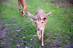 Two brown deers on the grass grazing Stock Images