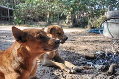 Two brown dogs royalty free stock photography