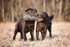Two brown dogs running outdoors Royalty Free Stock Photos