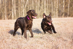 Two brown dogs running outdoors Stock Photography