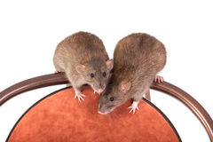 Two brown domestic rat Stock Photos
