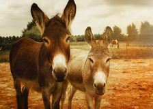Two Brown Donkeys Royalty Free Stock Image
