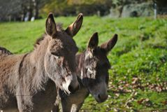 Two Brown Donkeys Royalty Free Stock Photos