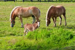 Two brown draft horses and a miniature horse on farm land stock photography