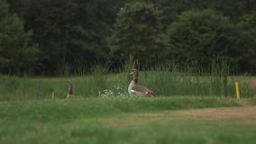 Two brown ducks in nature stock video footage