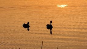 Two Brown Ducks Swim in a Beautiful Lake at a Splendid Sunset in Slo-Mo. A Wonderful View of a Couple of Ducks Swimming Peacefully in a Picturesque Lake at a stock video footage
