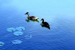 Two Ducks In A Blue Lake. Two brown ducks swimming in a big blue lake with some brazilian`s plants Stock Photos