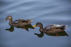 Two brown Ducks in calm lake. Two brown ducks swimming in calm water lake with nice reflection Stock Image