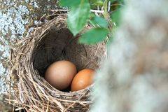 Two eggs lying in a real bird nest on the tree. Two brown eggs lying in a real bird nest on the tree outdoors royalty free stock photography