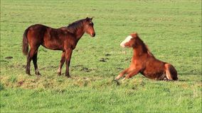Two brown foal in the nature stock video footage