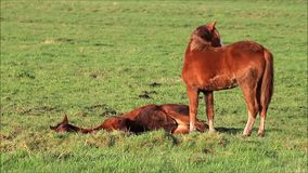 Horse, Two brown foal in the nature stock footage
