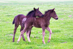 Two brown foals are playing Royalty Free Stock Photography