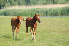 Two brown foals running Royalty Free Stock Photos