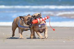 French Bulldog dogs on vacations  playing fetch with a maritime lighthouse dog toy at beach on island Texel