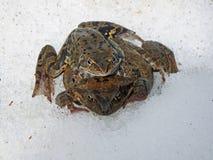 European common brown frog royalty free stock photos