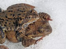 European common brown frog stock photography