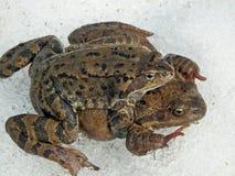 European common brown frog stock photo