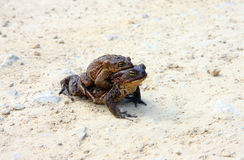 Two  brown frogs Stock Photography