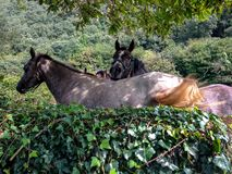 Two brown funny horses under the tree royalty free stock photos