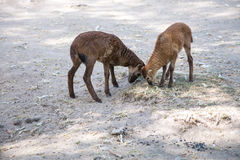 Two Brown goats Stock Image