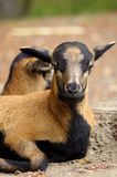 Two brown goats grazing in a field, sheep Stock Photo