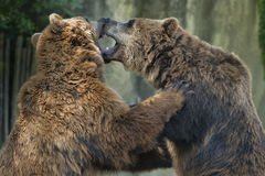 Two brown grizzly bears while fighting Stock Photo