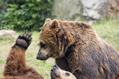Two brown grizzly bears while fighting. Brown grizzly bears while playing close up portrait Stock Photos