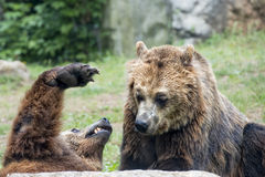 Two brown grizzly bears while fighting. Brown grizzly bears while playing close up portrait Royalty Free Stock Photography