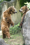 Two brown grizzly bears while fighting. Brown grizzly bears while playing close up portrait Royalty Free Stock Photos