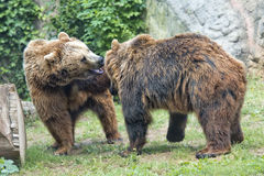 Two brown grizzly bears while fighting. Brown grizzly bears while playing close up portrait Royalty Free Stock Photo