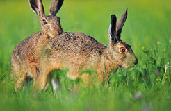 Two brown hare Royalty Free Stock Images