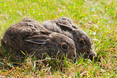 Two brown hares Stock Image