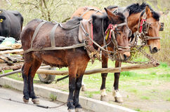 Two brown heavy horses in harness. Team of Belgian heavy horses in harness royalty free stock image