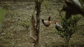 Two Brown Hen and White Rooster Standing Near Green Plants Royalty Free Stock Photos