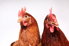 Two brown hens Royalty Free Stock Photo