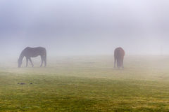 Two brown horse in enclosure. In early misty morning royalty free stock photography