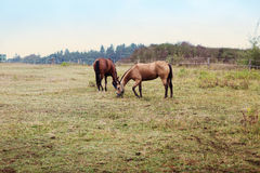 Two brown horse on farm Royalty Free Stock Photography