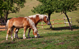 Two brown horses. Grazing grass in an enclosure Royalty Free Stock Photos