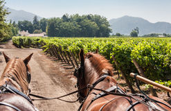 Horses Charriot in Vineyard Chile Royalty Free Stock Images