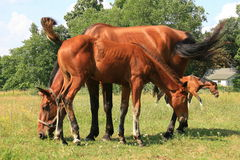 Two brown horses and colt Royalty Free Stock Photography