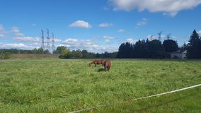 Two Brown Horses in the Country royalty free stock photos