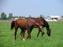 Two brown horses feeding not far from the farm. Two brown horses feeding on a green meadow not far from the farm Royalty Free Stock Photo