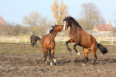 Two brown horses fighting. (one of them rearing Stock Photography